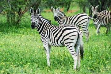 Zebra in Moremi Game Reserve.gallery_image.4