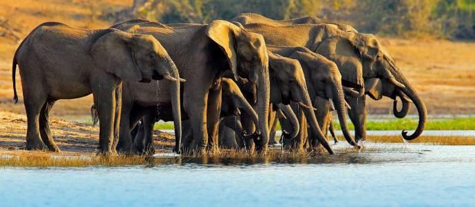 Elephants drinking water