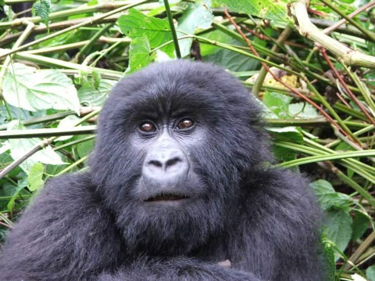Gorilla in the forest
