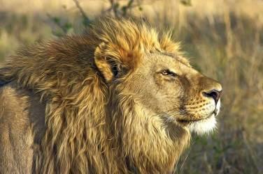 Lion in Hwange National Park.gallery_image.2
