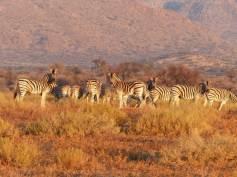 classic-safari-wildlife-outlook-safaris-zebras
