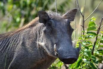 warthog-stare