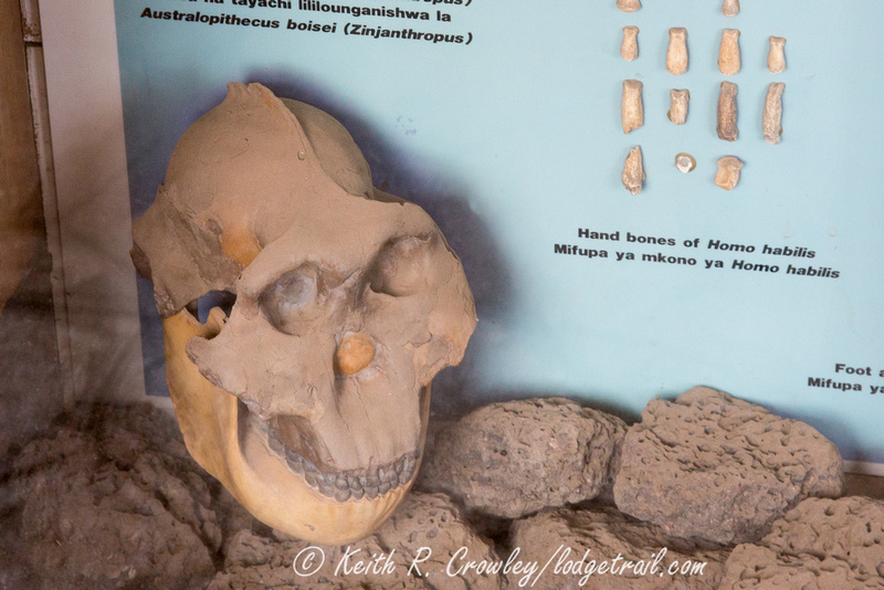 Zinjanthropus (Australopithecus boisei) replica on display at Olduvai Gorge.