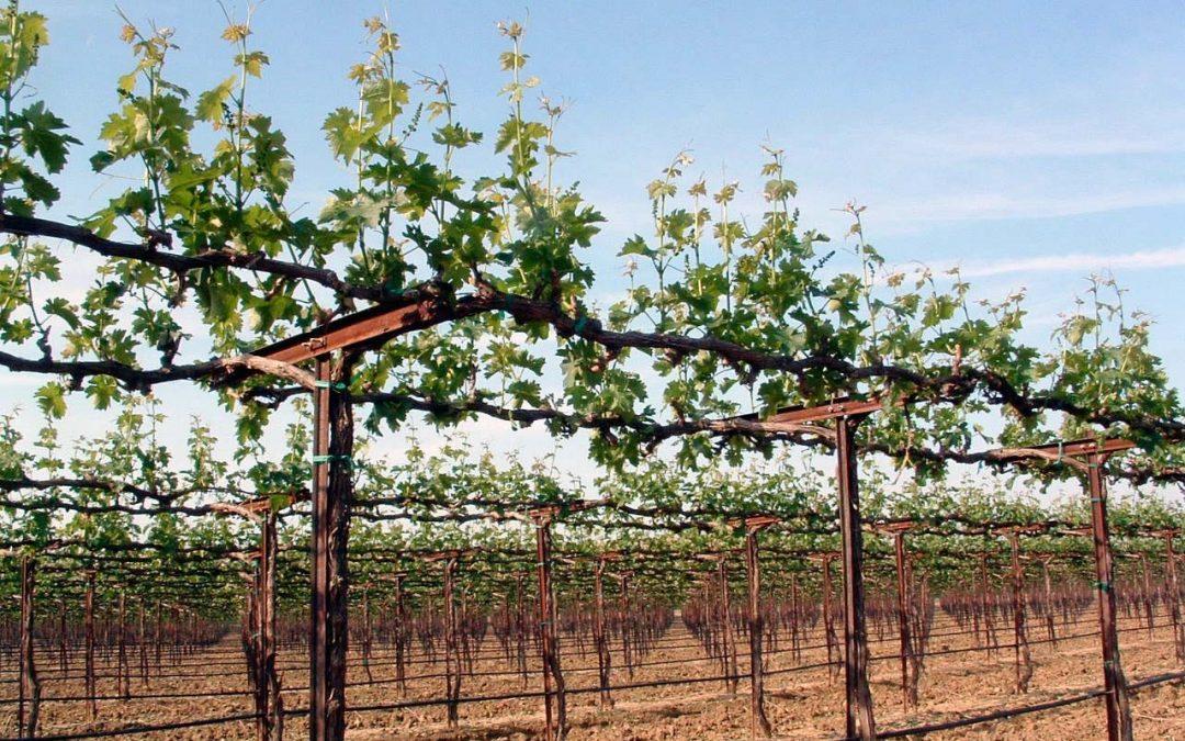 Vineyard Design Amp Management For Maximum Efficiency