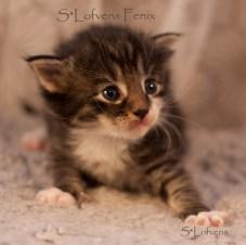 S*Lofvens Fenix, 3 weeks, Male, NFO n 09 23