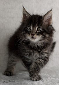 Feykir Forever Young, 8 weeks, male, NFO ns 23