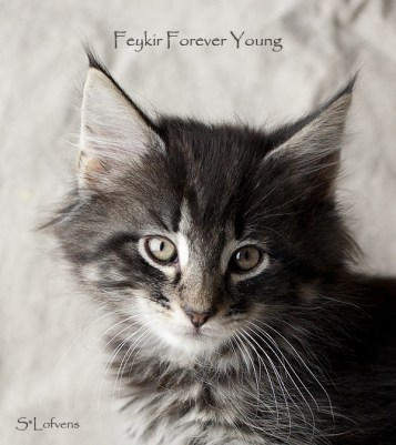 Feykir Forever Young, 9 weeks, NFO ns 23