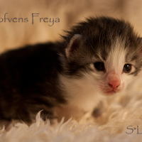 S*Lofvens Freya, 2weeks, Female NFO ns 09 23
