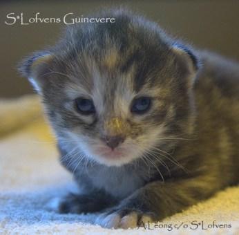 S*Lofvens Guinevere, 2 weeks, NFO female