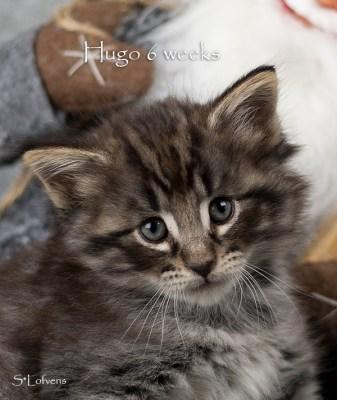 Hugo Heart Stealer, 6 weeks, NFO n 09 22, male