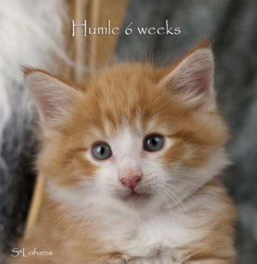 Humle Hot Gossip, 6 weeks, NFO d 09 22, male