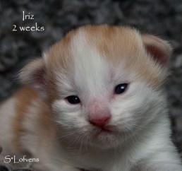 Iriz, 2 veckor