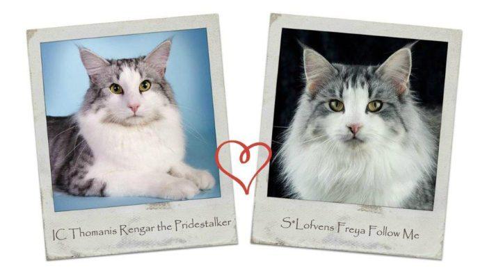 IC Thomanis Rengar the Pridestalker och S*Lofvens Freya Follow Me väntar kattungar i slutet av Juli 2016