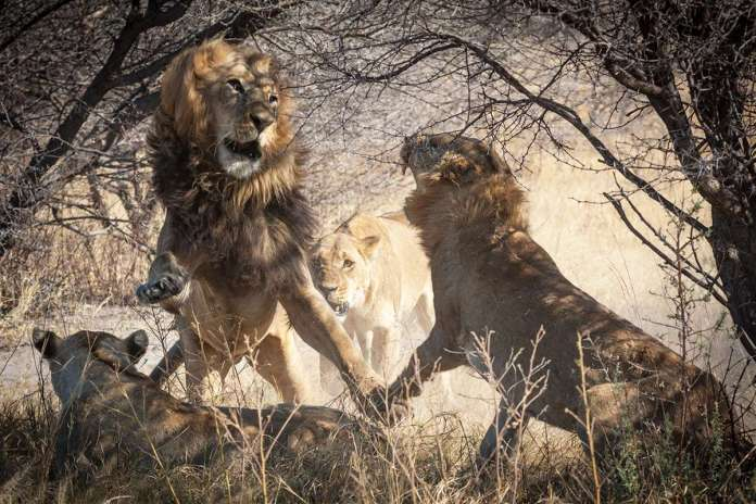 [Science] A crucial population of lions has lost much of its genetic diversity – AI