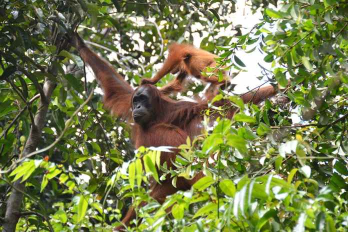 [Science] Orangutan mothers tell infants where to go by scratching themselves – AI