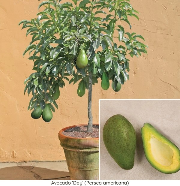Avocado Trees For Sale How To Grow Avocado Plants At Home