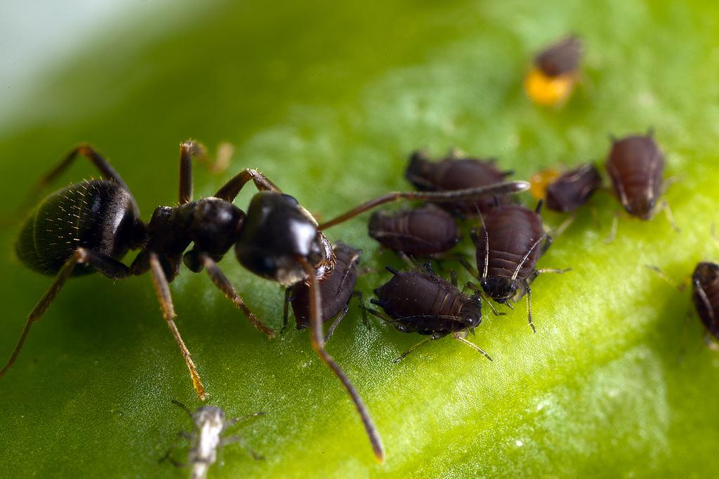 Mravi vode brigu o biljnim ušima - stočarstvo