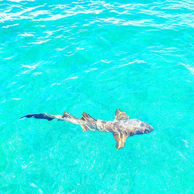 WoW! Baby shark 🤙🦈 #bahamas #travelblogger #instatravel #traveltheworld #traveling #beach  #traveller #beaches #travelgram #traveler #babyshark #seashore #travelling #travels #shark #beachlife #sealife #travelphoto #traveladdict #travelphotography #travel #travelingram #sea