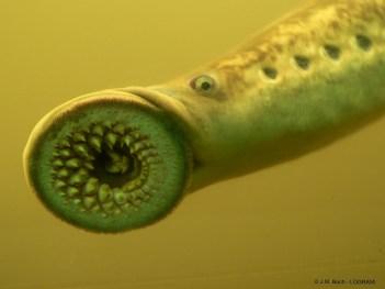 Lamproie-marine-adulte-©J.M.-Bach-LOGRAMI