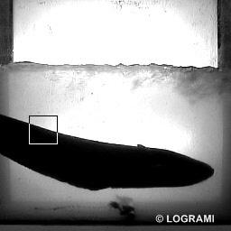 gros silure Roanne 4 juin 2012