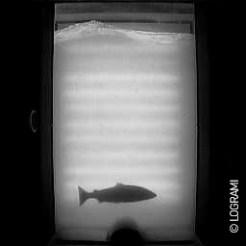 Saumon de 2 ans de mer