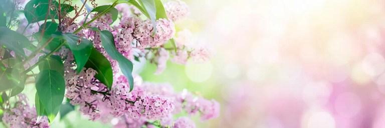 AdobeStock_syreenin_oksa_kukkia_violetti