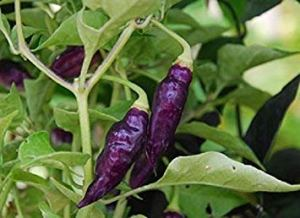 Pinkdose 10 CONDOR'S Beak Hot Pepper, Seeds, (C. chinense) an Elongated, Exotic and Uncommon