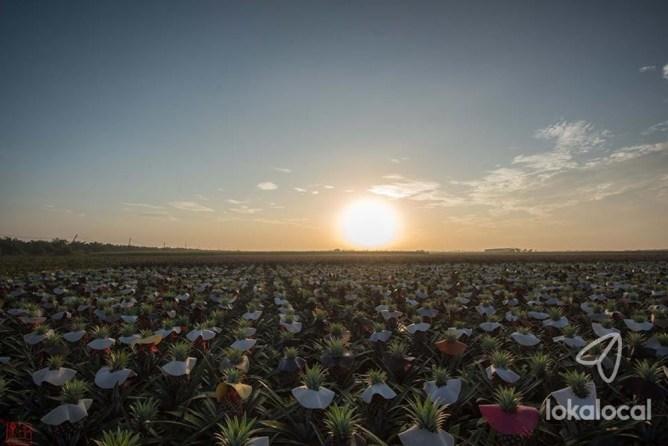 Simpang Renggam Pineapple Field