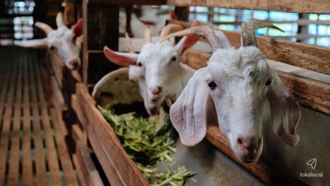 Saanen goat farm