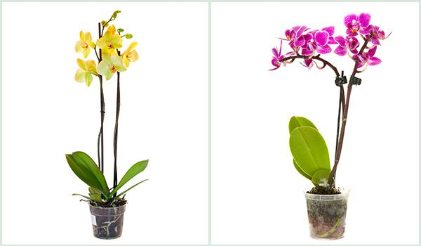 Orchid Care Top Tips For A Healthy Orchid Plant