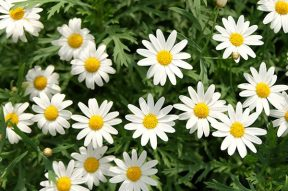Easy to Find Daisies LolaFlora