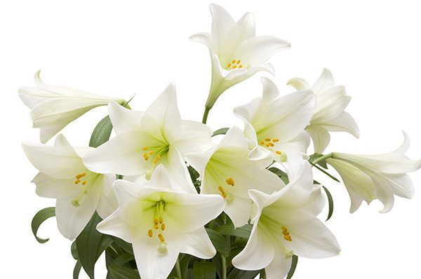 Mothers Day Lilies