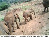 Savanna elephant (Loxodonta africana)