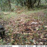 Kolb's monkey (Cercopithecus mitis kolbi)