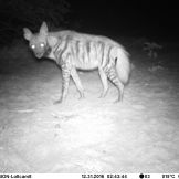 Striped hyaena (Hyaena hyaena)