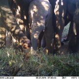 Savanna elephant Loxodonta africana