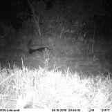 Ratel (=honey badger) Mellivora capensis