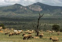Livestock grazing at Lolldaiga Hills Ranch