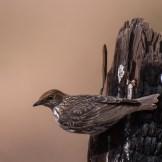 Adult female violet-backed starling (Cinnyricinclus leucogaster)