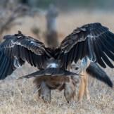 Black-backed jackal (Canis mesomelas) and tawny eagle (Aquila rapax)