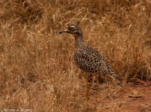 Spotted thick-knee (Burhinus capensis)