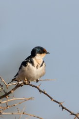 Ethiopian Swallow (Hirundo aethiopica)