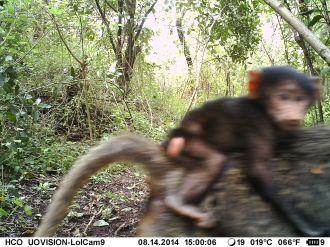 IMAG0136 - Infant olive baboon