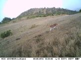 Adult mountain reedbuck on Lolldaiga Hills Ranch. Photograph obtained by the Lolldaiga Hills Research Programme in partnership with The Zoological Society of London.