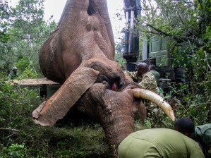 Elephant bull translocation by KWS rangers