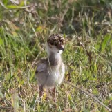 Young crowned plover (Vanellus coronatus)
