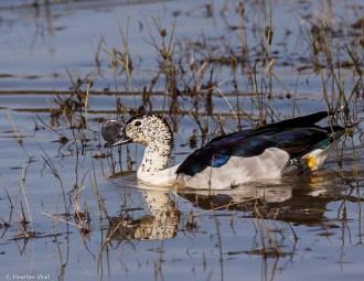 Knob-billed duck (Sarkidiornis m. melanotos)