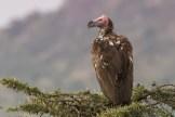 Lappet-Faced Vulture (Torgos t. tracheliotos)