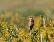 Lesser swamp warbler (Acrocephalus gracilirostris)
