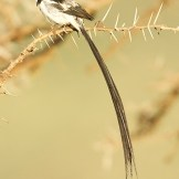 Pin-tailed whydah (
